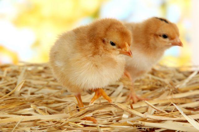 кокцидиоз у цыплят симптомы и лечение
