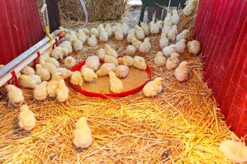 подстилка для цыплят
