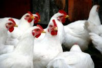 болезни цыплят бройлеров и их лечение в домашних условиях