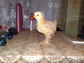 цыпленок карликового кохинхина