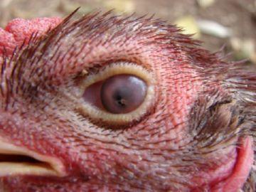 панофтальмит у кур