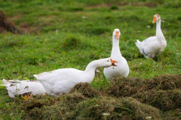 кормление гусей свежей травой