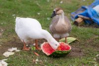 чем кормить гусей в домашних условиях