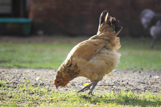 Кровавый понос у курицы причины лечение