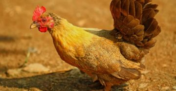 выпадение яйцевода у кур лечение