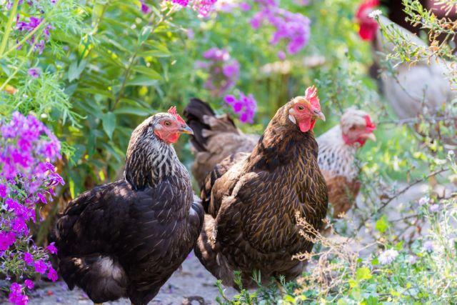 Народные средства от пероеда у кур