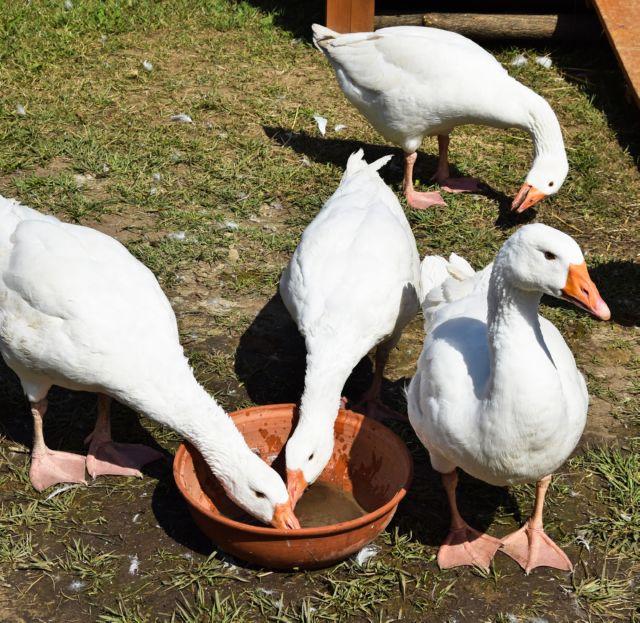 Чем кормить гусей в домашних условиях зимой и летом