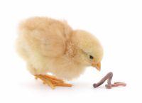 запор у цыплят что делать