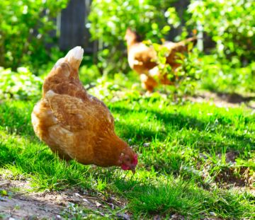 зеленый корм для кур