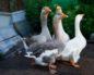 содержание гусей в домашних условиях для начинающих