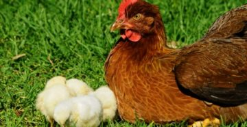 понос у цыплят лечение
