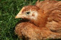 инфекционный бронхит кур