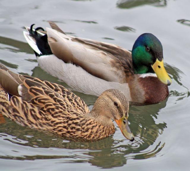 Чем кормить диких уток зимой на пруду и в парке, можно ли давать хлеб