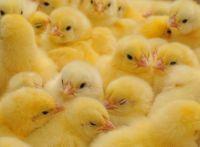 болезнь ньюкасла у цыплят