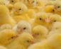сальмонеллез у цыплят симптомы и лечение