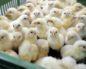 микоплазмоз у цыплят лечение