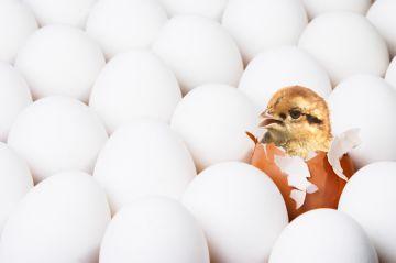 болезни новорожденных цыплят