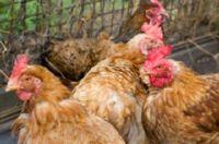 воспаление зоба у курицы лечение