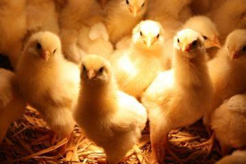 приобретение птенцов кур