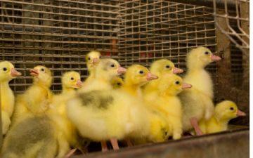 новорожденные гусята