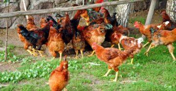 болезни печени у кур