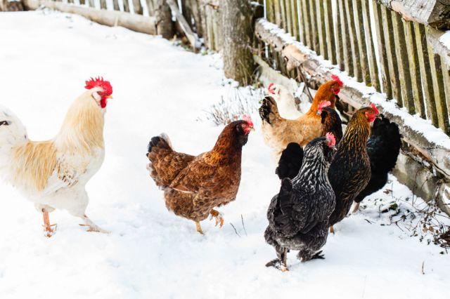 Почему цыплята чихают