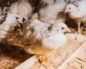симптомы птичьего гриппа у цыплят