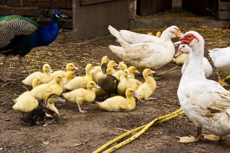 Инкубация яиц индоуток в домашних условиях срокитемпература