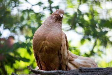 Высоколетные николаевские голуби - описание породы и разведение