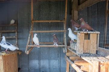 Андижанские голуби и их особенности