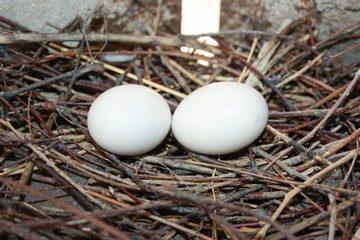 Разведение и выращивание фазанов в домашних условиях для начинающих