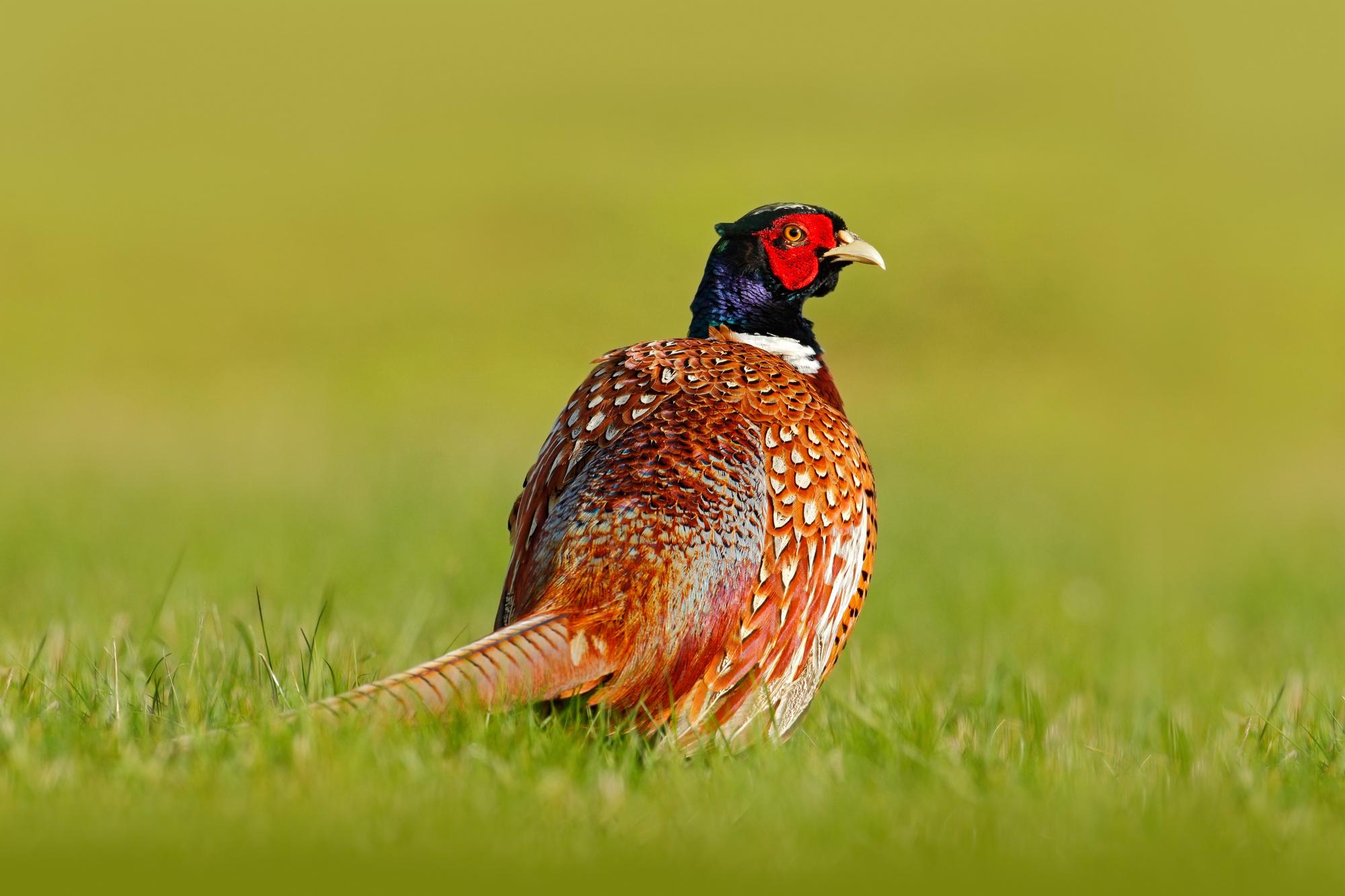 ушастый фазан