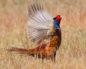 болезни фазанов