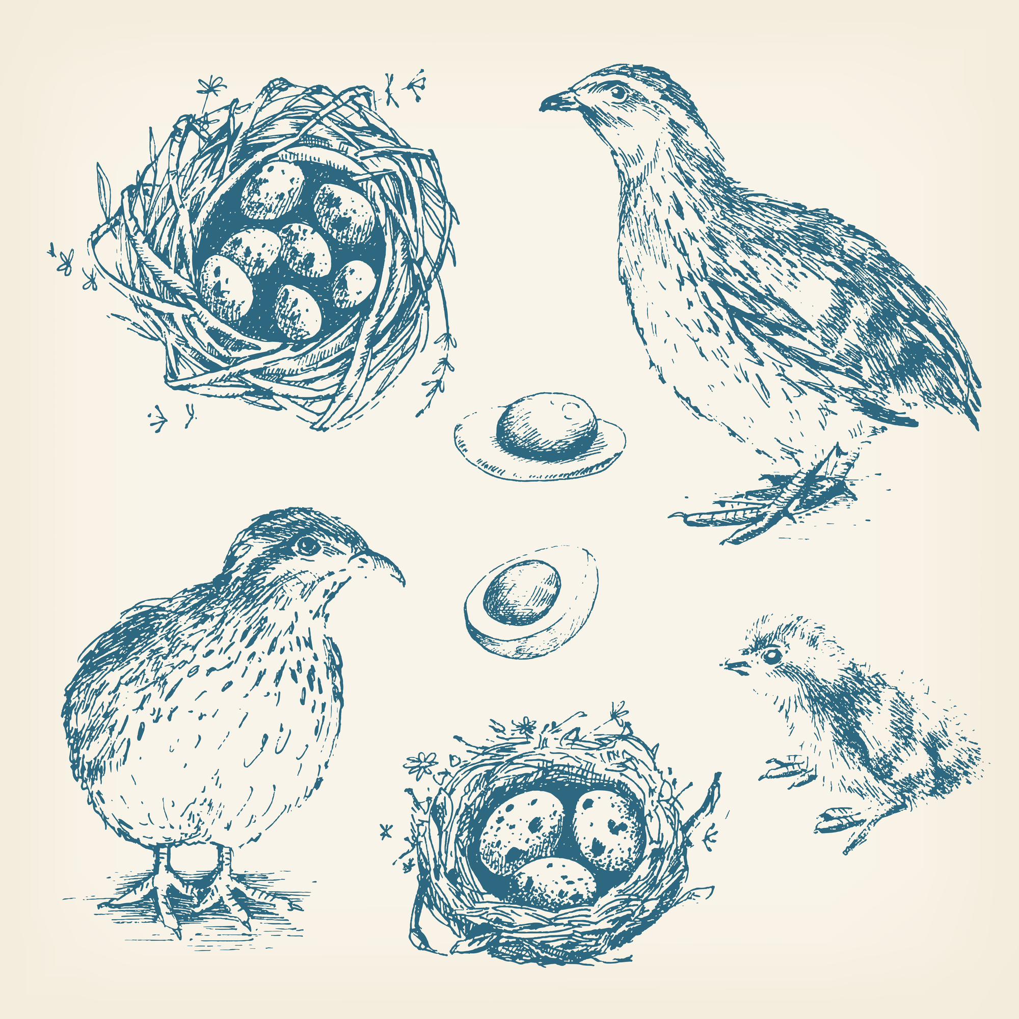 Суточные птенцы перепелов