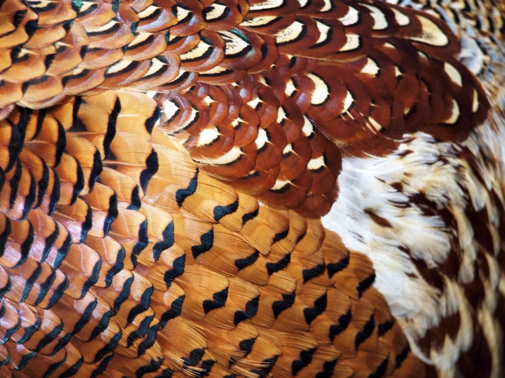 Как правильно надеть очки фазану