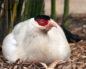 инкубация яиц фазана