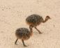 птенцы страуса