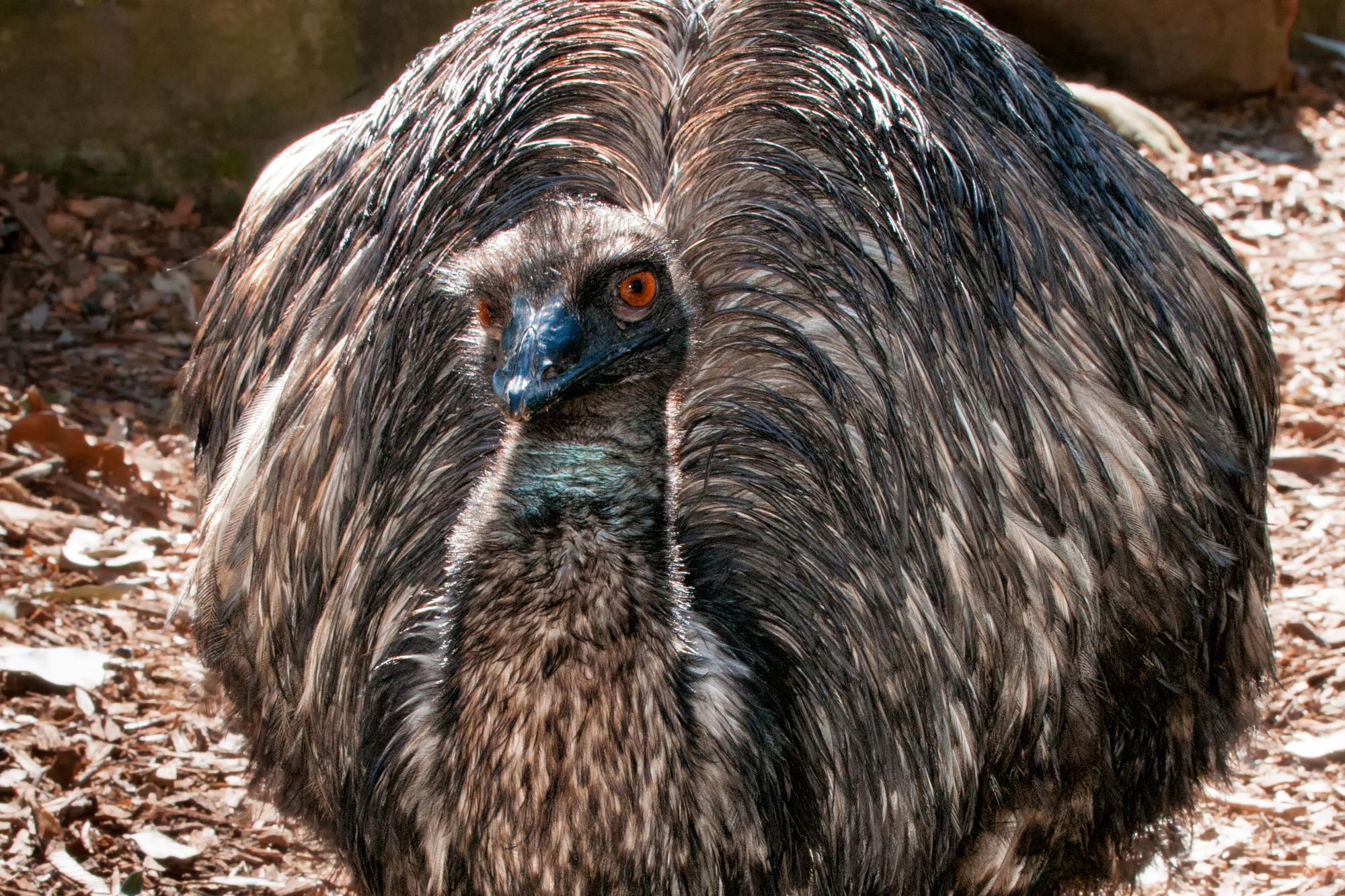 страус Эму
